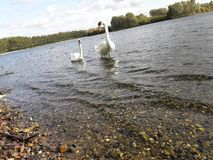 Swans. Two swans in water Royalty Free Stock Photo