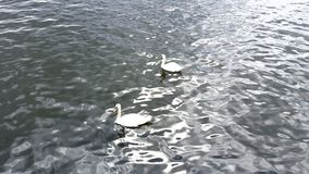 Swans - Love birds. Two swans swimming in the sea Stock Photography