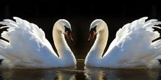Swans Stock Photo