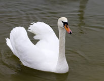 Swans. A very bright a swans stock photo