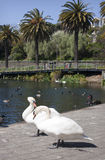 Swans at Virginia Lake. Wanganui, New Zealand Stock Photography