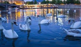 Swans on the Vltava. Charles Bridge and swans. Night Prague. royalty free stock images