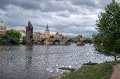 Swans on the Vltava River in the background Charles Bridge. Stock Image