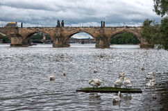 Swans on the Vltava River in the background Charles Bridge Royalty Free Stock Photos