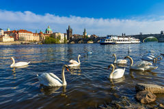 Swans on Vltava river and Charles Bridge on the background in Prague Royalty Free Stock Photography