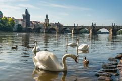 Swans on the Vltava River Stock Photos
