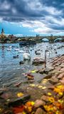 Swans on Vltava River. Group of swans on Vltava River in Prague, Czech Republic Royalty Free Stock Images