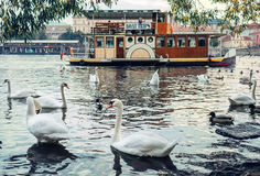 Swans on Vltava River with old ship background in Prague, Czech Republic Royalty Free Stock Images