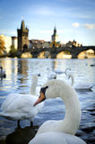 Swans on Vltava river Royalty Free Stock Photo