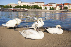 Swans by Vltava River, Prague, Czech Republic Stock Images