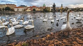 Swans on Vltava River, Prague, Czech Republic. Group of swans on Vltava River in Prague Royalty Free Stock Images