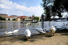 Swans on the Vltava River in Prague Stock Photo