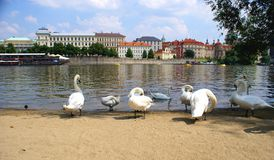 Swans on the Vltava River in Prague Stock Image