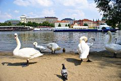 Swans on the Vltava River in Prague Stock Photography