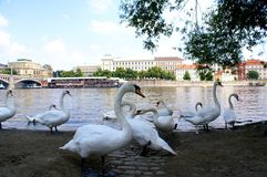 Swans on the Vltava River in Prague Stock Photos