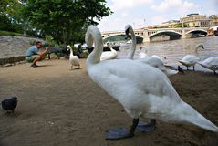Swans on the Vltava River in Prague Royalty Free Stock Images