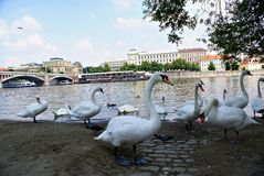 Swans on the Vltava River in Prague Royalty Free Stock Photo