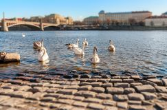 Swans on the Vltava River, Prague Royalty Free Stock Photography
