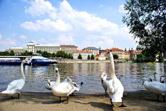 Swans on the Vltava River in Prague Royalty Free Stock Photography