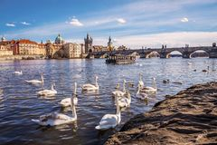 Swans on Vltava river royalty free stock image