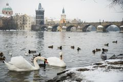 Swans on Vltava river, towers and Charles Bridge in Prague, Czech Republic. stock images