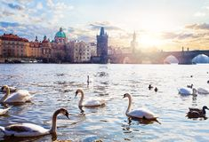 Swans on Vltava river, towers and Charles Bridge at sunrise in Prague, Czech Republic. Prague landmarks royalty free stock photos