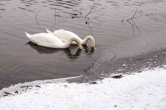 Swans in Vltava in the winter. Romantic couple Stock Images