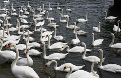 Swans waiting for feeding Royalty Free Stock Photography