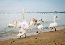 Swans walk along the seashore. Several swans floating near the sea shore Royalty Free Stock Image