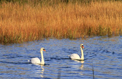 Swans in Water Royalty Free Stock Images