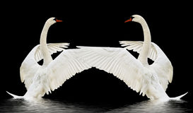 Swans on the water. Royalty Free Stock Images
