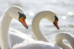 Swans on water. Close up of swans on water Stock Photo