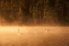 Swans on water Stock Photo