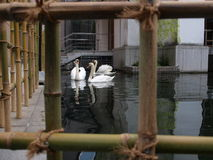 Swans. On the water behind the bamboo fence Royalty Free Stock Photos