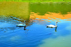 Swans and Water channel in the old medieval fortress of the city Fagaras, Brasov county royalty free stock photography