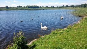 Swans on water. Swans and ducks on Boora Lake in Ireland Royalty Free Stock Photos