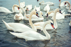 Swans in the water Royalty Free Stock Image