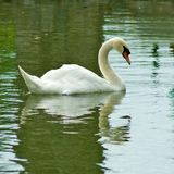 Swans on the water Stock Photos