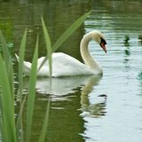 Swans on the water in the park Royalty Free Stock Photography