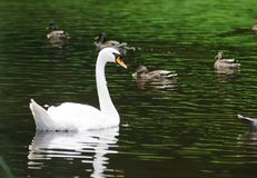 Swans on water Stock Photography