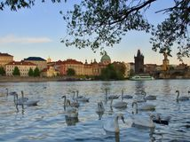 Swans in water. Prague river Vltava with white swans on water. Classy landscape of capital city of Czech Republic Royalty Free Stock Photo