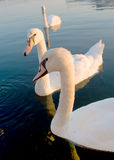 Swans on the water surface. White swans on the water surface Royalty Free Stock Images
