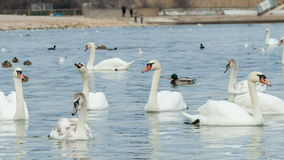 Swans on water stock video footage