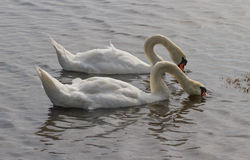 Swans on the water. Royalty Free Stock Image