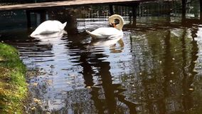 Swans on the water stock footage