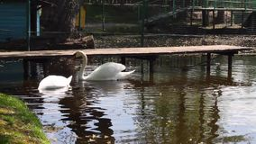 Swans on the water stock video footage