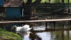 Swans on the water. Two beautiful white swans eating and drinking on a pond stock video footage