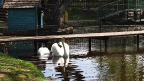 Swans on the water. Two beautiful white swans eating and drinking on a pond stock footage