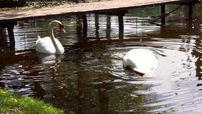 Swans on the water. Two beautiful white swans eating and moving in circles on a pond stock video footage