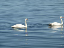 Swans on the water Stock Photo